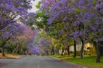 Jacaranda trees in full bloom, Bryanston, Johannesburg, Gauteng
